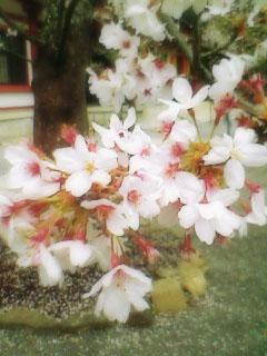 心の中の桜