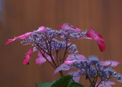 紫陽花 赤  5