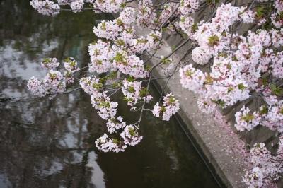 桜の見納め?