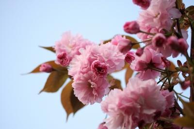 ピンク色の八重桜