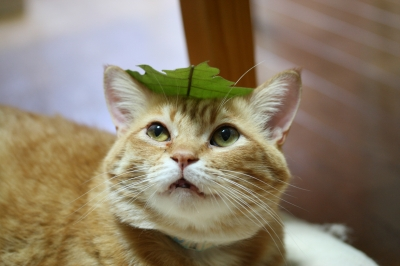Kotetsu 柏の葉っぱ