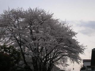 20080329桜(1)