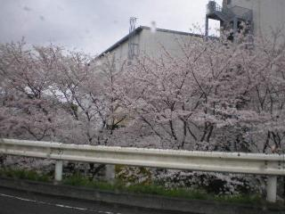 2008桜(1)