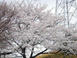 2008桜(2)