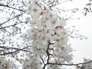 2008桜(3)