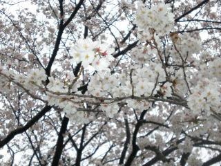 2008桜(4)