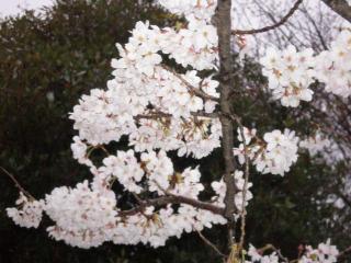 2008桜(5)