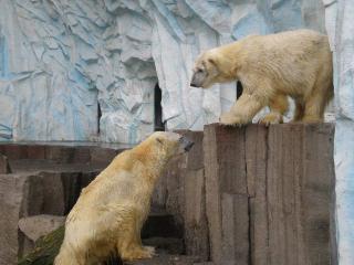 上野白熊(1)