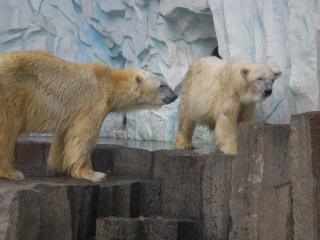 上野白熊(2)