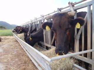 石垣牛のドアップ
