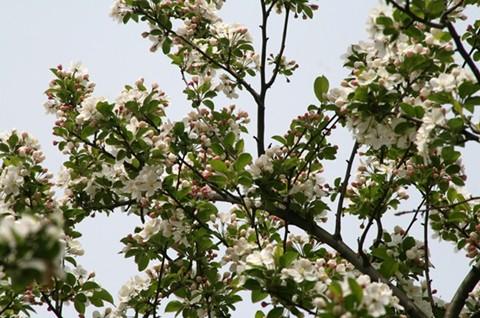 りんごの花!?
