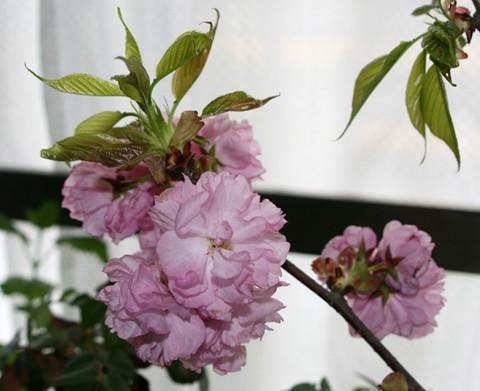 400円の八重桜