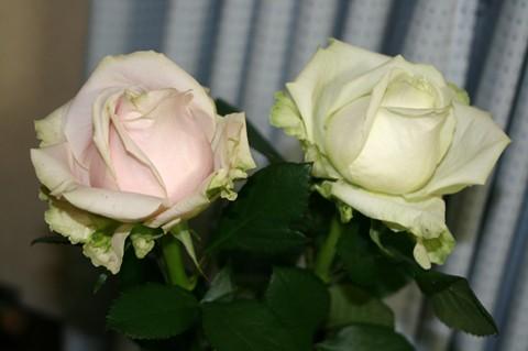 お花屋さんで見つけたバラ
