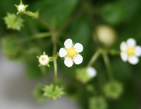 ワイルド・ストロベリー・ホワイト種