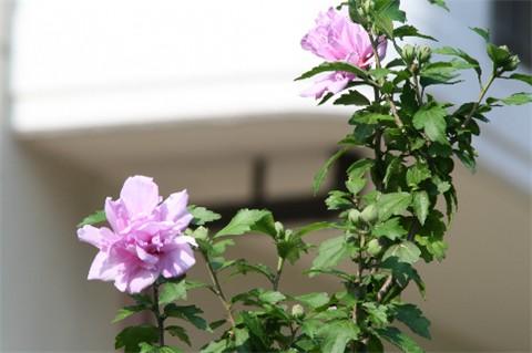 芙蓉の花?