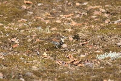 ツグミ(冬鳥)