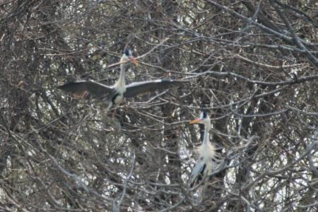アオサギコロニー