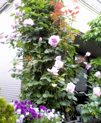 杉山家の薔薇