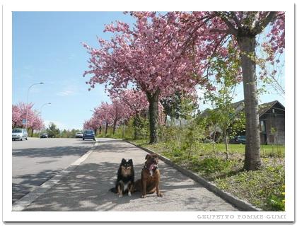 家の前の八重桜並木
