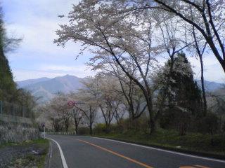 奥多摩桜道
