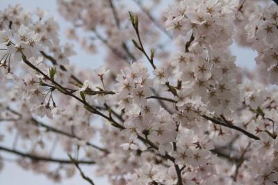 桜 @まんのう公園