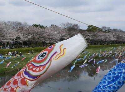 20080330ohanami1