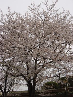 080405_sakura.jpg