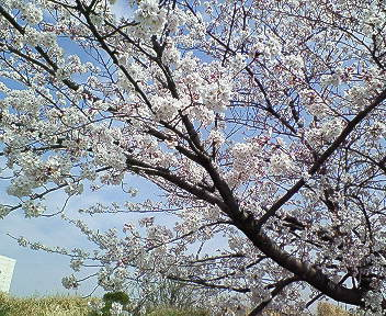 2008年桜 ①