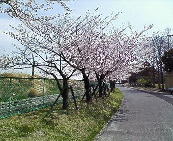 2008年桜 ②
