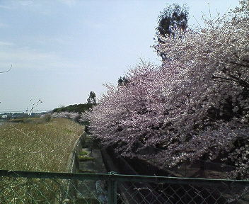 2008年桜 ③