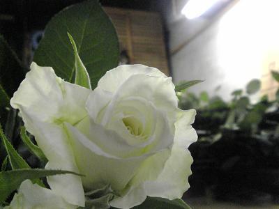 白バラ「ティネケ」