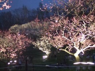 梅のライトアップ