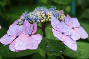 紫陽花(水滴)