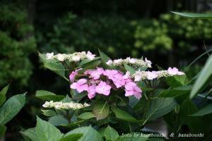 池田の紫陽花