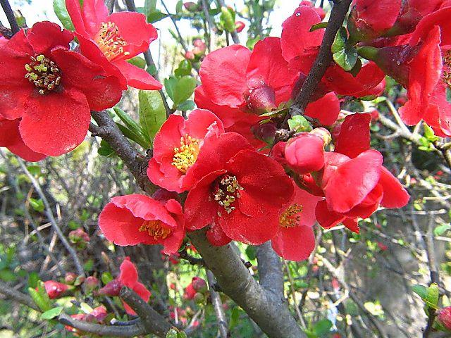 木瓜 (ぼけ)の花