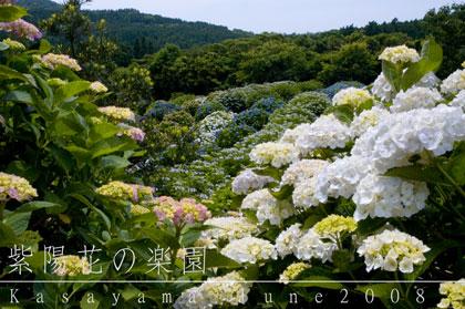 080606阿久根市笠山観光農園紫陽花(アジサイ)