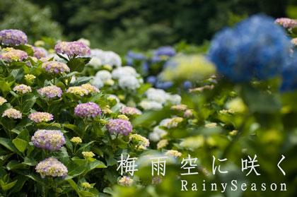 80606阿久根市笠山観光農園紫陽花(アジサイ)
