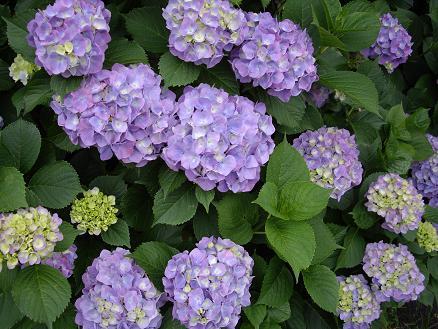 滝ヶ谷公園の紫陽花