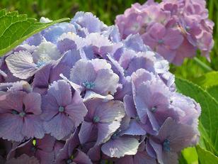 紫陽花とログ 001