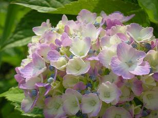 紫陽花とログ 004