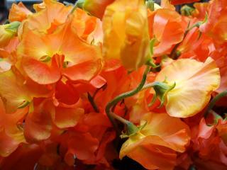スィートピー オレンジ(染)