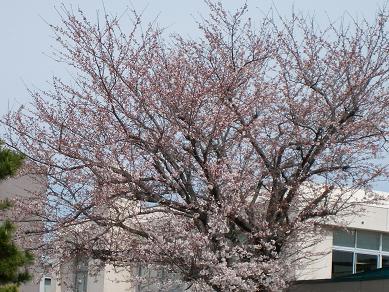 *学校の桜*