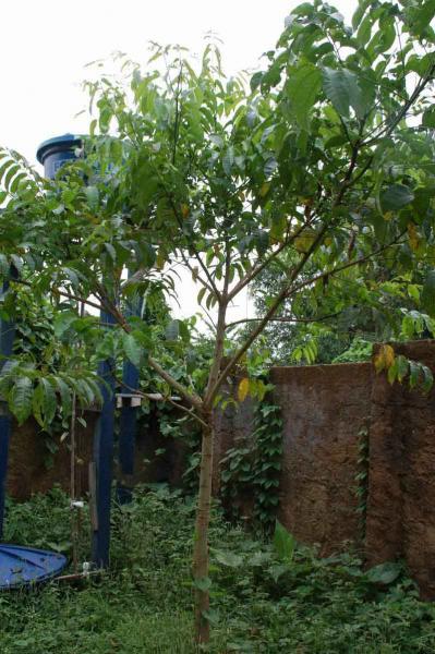 Resize of 種を植えて1年たったタペレバ250センチ_肥料をこの日入れた_それまで肥料なし
