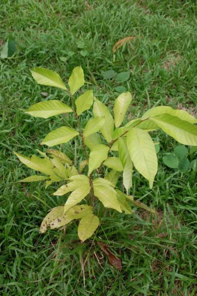 Resize of 種を植えて1年たったランブータン60センチ_肥料をこの日入れた_それまで肥料なし