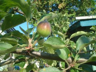 りんごの実1