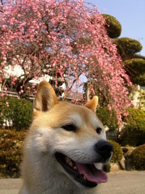 満開の梅とさくら