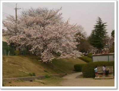 平木谷公園の桜♪