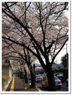 清和台の桜!