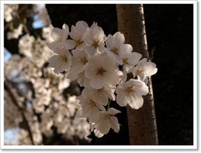 週末は桜を満喫しました!