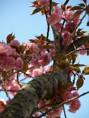 八重桜を見上げる♪